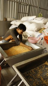 A worker sorts out broken seeds and foreign materials from the corn