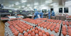 360-sq-m high-care zone is automated. Six workers are capable of handling over 380,000 eggs/ day.