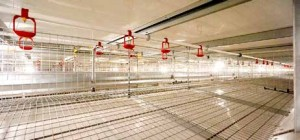 Valli Enriched cage (1m x 3m x 0.52m) holds 36 hens, with space/hen 833 sq cm/bird, twice the size of a typical battery cage. Each cage contains four drinking nipples and 10 cm of eating space.